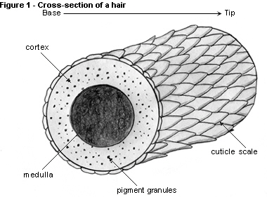 Hair Strand Structure
